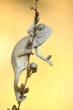 Baby Chameleon Posing For The Picture chameleons Cute Reptiles, Reptiles And Amphibians, Mammals, Beautiful Creatures, Animals Beautiful, Cute Animals, Baby Chameleon, Fotografia Macro, Fauna