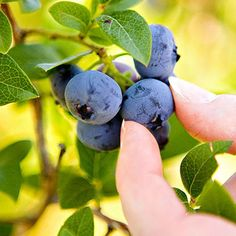 Berries are bursting with color, flavor, and nutrition. Follow these tips and enjoy a bumper crop of these nutritional superstars.