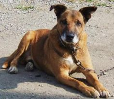 GUMBY is an adoptable Shepherd Dog in Beechbottom, WV. GUMBY is simply a wonderful older boy . He is quite the gentleman, always friendly & loving with everyone. He came into our shelter as a stray , ...