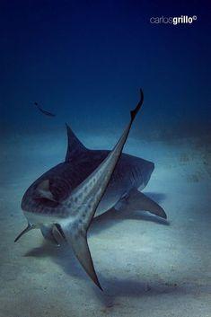 Underwater Animals, Underwater Creatures, Ocean Creatures, Shark Pictures, Shark Photos, Beautiful Sea Creatures, Animals Beautiful, Animals And Pets, Cute Animals