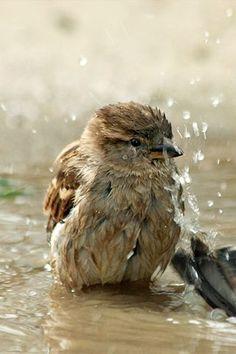 スズメさん、行水してます。