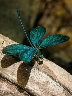 teal damselfly dragonfly damselfly teal dragonfly dragonfly dragonflys ...