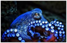 Octopuses have blue blood. To survive in the deep ocean, the octopus evolved a copper-based blood called hemocyanin (rather than ours, which is iron-based) which creates a blue color. -- 22 Octopus Facts That Are Definitely Worth Ogling Octopus Vulgaris, Underwater Creatures, Ocean Creatures, Underwater World, Types Of Octopus, Common Octopus, Beautiful Creatures, Octopus Facts, Octopus Octopus