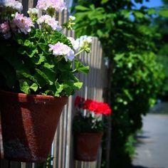 Smuk lyserød Dronning Ingrid pelargonie i Assens by #visitfyn #fyn #nature #nature_perfection #naturelovers #mothernature #natur #denmark #danmark #dänemark #landscape #assensnatur #assens #mitassens #vildmedfyn #fynerfin #vielskernaturen #visitassens #instapic #picoftheday #summer2016 #sommer #pelargonie #royal