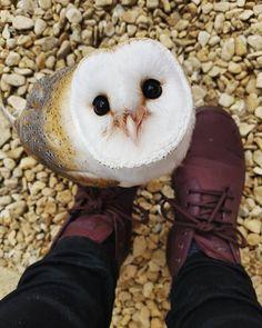 Kawaii owl Really? Cute Birds, Pretty Birds, Cute Owl, Cute Little Animals, Cute Funny Animals, Beautiful Owl, Animals Beautiful, Cute Creatures, Beautiful Creatures