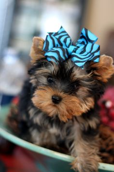teacup yorkie puppies for sale in ohio teacup yorkie puppies for sale in ohio zoe fans blog 103