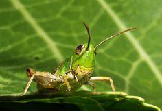 Grasshopper (Chorthippus brunneus). http://blog.powerscourt.ie/blog/bid/147965/Discover-the-secret-world-of-minibeasts-at-Powerscourt