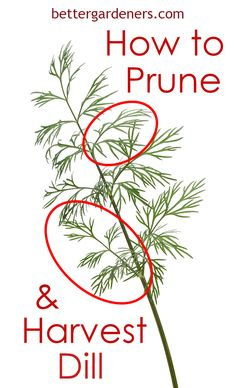 Learn how to grow, prune, and harvest dill. We cover everything from selecting seeds, pots, and soil to pruning and enjoying your dill harvest.