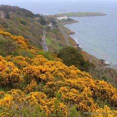 32 best flowers of ireland images on pinterest irish eyes emerald irelands hills and hedgerows are blooming with the golden glow of yellow furze this prolific plant adds stunning color to the irish landscape each and mightylinksfo