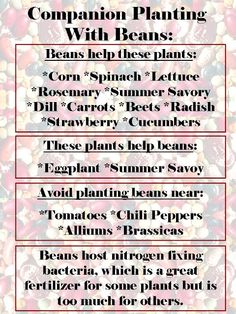 Companion Planting with Beans 2