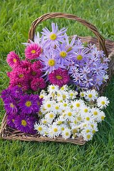 autumn flowering asters are great cutting flowers