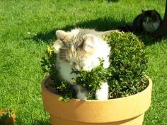 Mon chat adore les boules de buis de mon jardin !!! It's my cat garden art galery