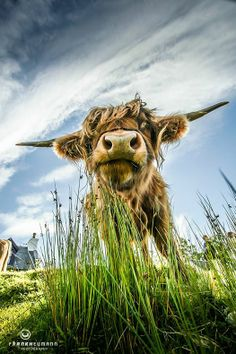 MySkye - Isle of Skye Green Highland Cattle, Highland Games, Long Haired Cows, Farm Animals, Cute Animals, Land Turtles, Cow Craft, Sweet Cow, Amazing Nature Photos