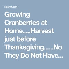 Growing Cranberries at Home.....Harvest just before Thanksgiving......No They Do Not Have to Be Grown in A BOG! — Steemit