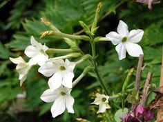 O descoperire recentaa unui antibiotic continut in floarea de Regina noptii face sa renasca sperante.Iata ce spun cercetatorii: Flora And Fauna, Garden, America, Therapy, Fragrance, Garten, Lawn And Garden, Gardens, Gardening