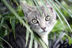 Silver tabby in the grass