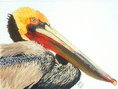 Pelican Watercolor by Sharon Mayfield