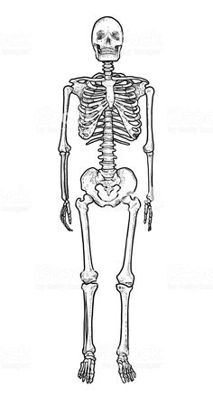 2b76cac14e0ea Human skeleton illustration, drawing, engraving, ink, line art, vector  royalty-