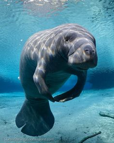 Manatee, Awesome Picture. I instantly think... Barbra Manatee, you are the one for mee... (Veggietales, love it)