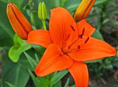 Orange lily #flower #photography #orange