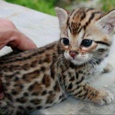 Savannah Cat Kitten Wallpaper