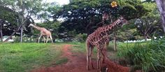 HONOLULU ZOO (Oahu) —My kids would LOVE this!  The Honolulu Zoo is a 42-acre facility that has 1,230 animals on display, and is located within walking distance of the world famous waikiki beach. Parking for the zoo is only one dollar per hour.