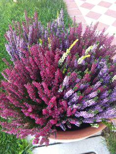 Fiori e piante autunnali del mio giardino: erica