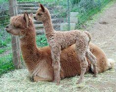 Angel and Lil' Angel Alpacas, Farm Animals, Animals And Pets, Funny Animals, Cute Animals, Cute Alpaca, Baby Alpaca, Alpaca Images, Fierce Animals