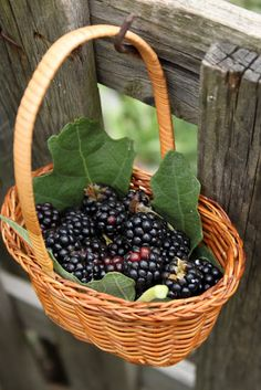 lovely basket of freshly picked blackberries