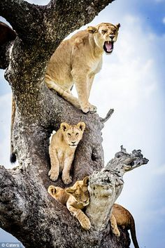 Whatever space is free on the busy tree seems to be comfortable enough for these lions...