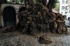 Little root (Lisboa, Portugal)