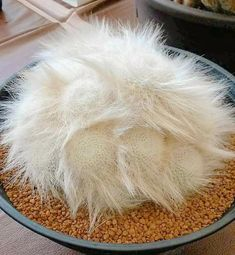 A sleeping cat? No, this is a beautifully unusual cactus. Weird Plants, Unusual Plants, Rare Plants, Exotic Plants, Cool Plants, Succulent Landscaping, Succulent Gardening, Cacti And Succulents, Planting Succulents