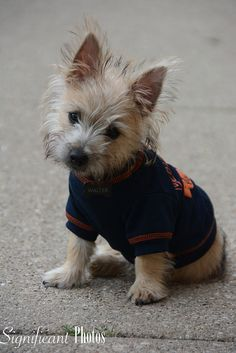 "Could Walter Payton catch a forward pass as cutely as this cute little Bears fan, Walter Stuart Mendez here? ""This is Walter Stuart Mendez, he is a 4 month old Cairn terrier. He is a Chicago … Cairn Terriers, Terrier Puppies, Terrier Mix, Pitbull Terrier, Cute Puppies, Cute Dogs, Dogs And Puppies, Cairns, Westies"