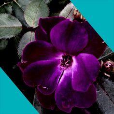 Purple flower, pretty, nature
