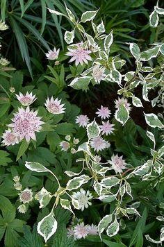 Astrantia major, Cornus alternifolia and hellebores