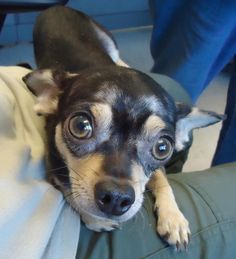 #KANSAS #URGENT ~ ID 13-0880 is a Chi mix  dog in need of a loving #adopter / #rescue at CITY of EMPORIA ANIMAL SHELTER 1216 Hatcher Emporia KS 66801 ashelter@emporia-kansas.gov Ph 620.340.6345
