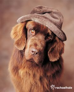 Corduroy (Newfoundland) - Wherever I lay my hat is my home.  I'm sure that's what Corduroy, was thinking while wearing his favourite hat.
