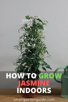How to grow jasmine indoors. Read my complete guide to jasmine plant care at sma. How to grow jasm Jasmine Plant Indoor, Indoor Plants, Porch Plants, Indoor Flowers, Smart Garden, Garden Care, Container Gardening, Gardening Tips, Indoor Gardening
