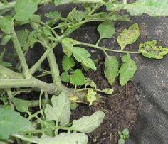 homemade treatment for blight on tomato plants.