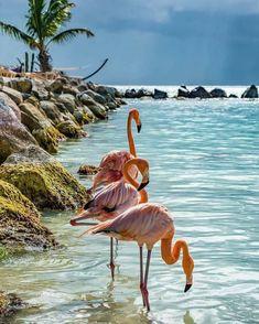Flamingos at the water's edge Flamingo Photo, Flamingo Art, Pink Flamingos, Cute Baby Animals, Animals And Pets, Beautiful Birds, Animals Beautiful, Flamingo Pictures, Whatsapp Wallpaper