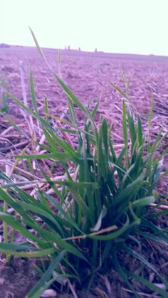 A liddle bit grass and a big field
