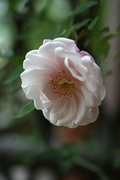 ~Rosa arvensis plena