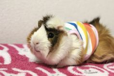 This colorful tank-top is perfect for jaunts to the guinea pig beach. | Latest Trends In The World Of Guinea Pig Fashion