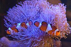Saltwater Aquarium Beginner, Clowning Around, Fish Tanks, Pets, Animals, Life, Marine Aquarium, Animals And Pets, Animales