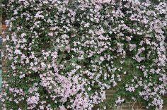 Clematis montana 'Rubens' (05/05/2012, Kew Gardens, London)