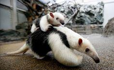 Week in Wildlife: A three-month-old baby Southern Tamandua,  Tokyo, Japan