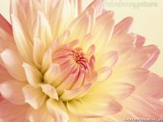 pale pink and yellow dahlia. These flowers..and color schemes would be AMAZING! for your flowers! against the gray suits!