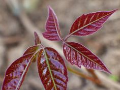 Japanese Maple Shoot by RussellHartPhoto on Etsy