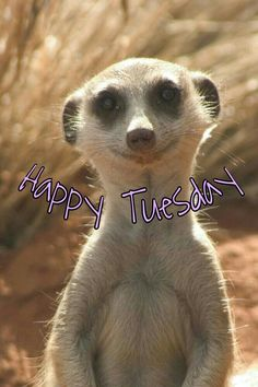 Happy Tuesday meerkat - for when we have survived Monday