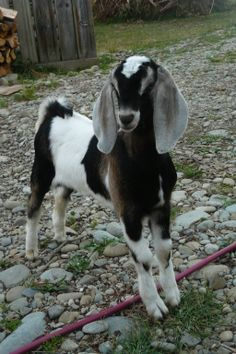 Nubian dairy goats (less goaty milk flavour according to Tammy) Farm Animals, Animals And Pets, Funny Animals, Cute Animals, Sheep Pig, Sheep And Lamb, Nubian Goat, Billy Goats Gruff, Goat Care